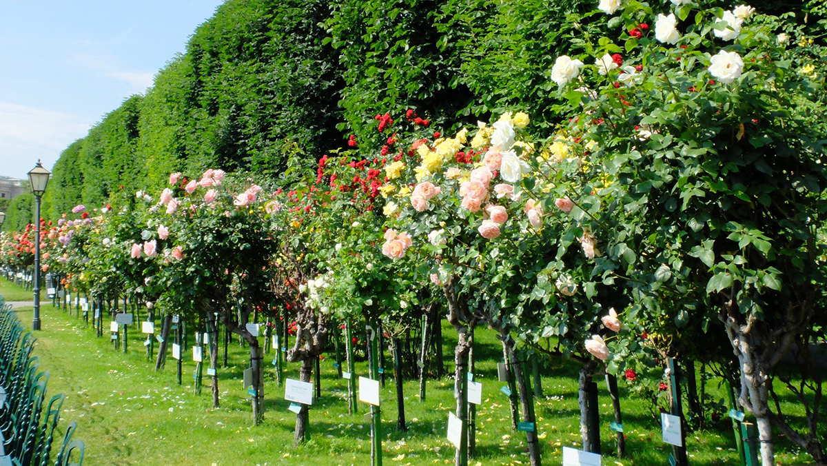 Hoa hồng cổ Hải Phòng – Cách trồng Hoa hồng cổ từ A-Z