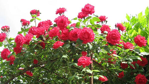 Sắc hoa rực rỡ của Hoa Hồng leo Hải Phòng