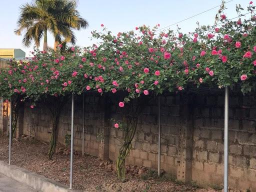 Cách chăm sóc hoa hồng đơn giản