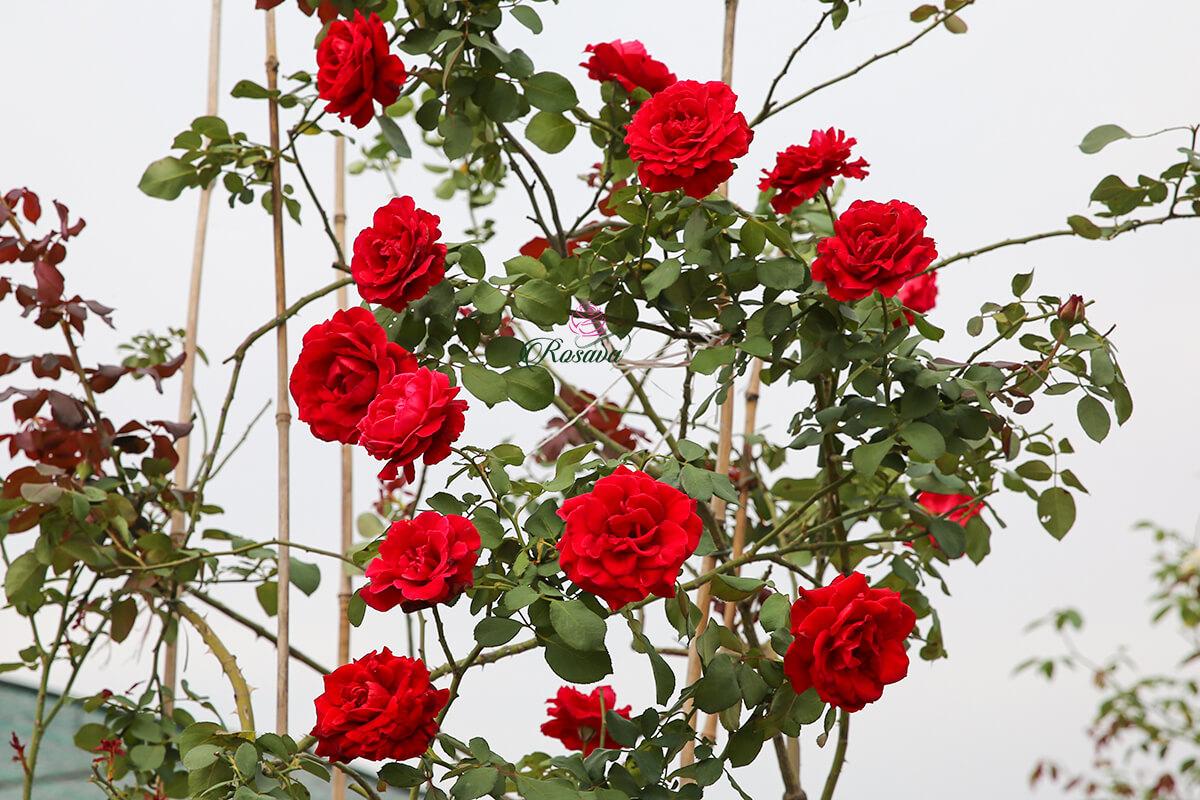 Cách nhận biết hoa hồng cổ Hải Phòng -Bí quyết chăm sóc hoa hồng